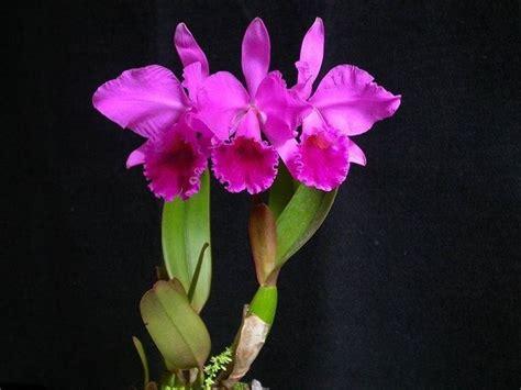 linguaggio dei fiori orchidea orchidea significato linguaggio dei fiori scopri il