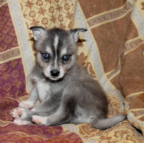 miniature husky puppies for sale 25 best ideas about miniature husky for sale on miniature bulldog for