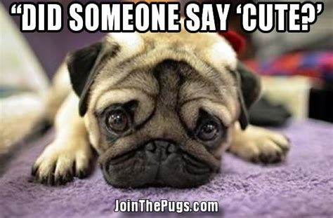 the cutest pug join the pugs gt did you say something