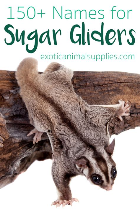 sugar glider names pet  ideas male female