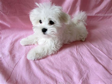 maltese puppies colorado the gallery for gt black teacup maltese puppies
