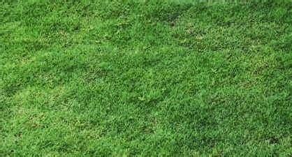 Rumput Swiss By Tukang Rumput rumput swiss jenis rumput untuk pembuatan taman outdoor
