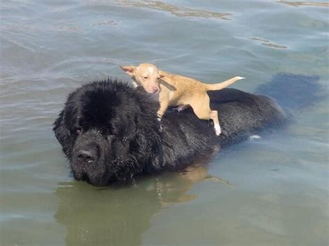 water rescue dogs water reascue dogs puppy facts
