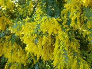 Small Summer Flowering Shrubs - australian native trees gardening with angus