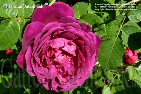 Britzer Garten Praktikum by Rosa Purpur Bilder News Infos Aus Dem Web