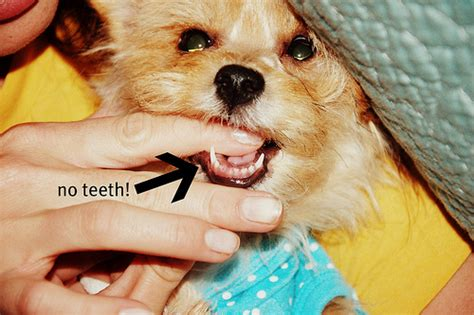 puppy losing teeth s losing puppy teeth flickr photo