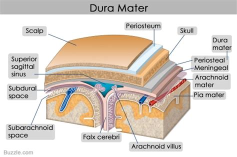 diagram mata structure and functions of the dura mater explained with