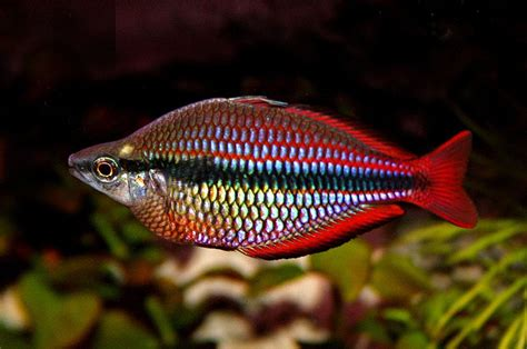 Makanan Ikan Hias Rainbow fish fascinating animals