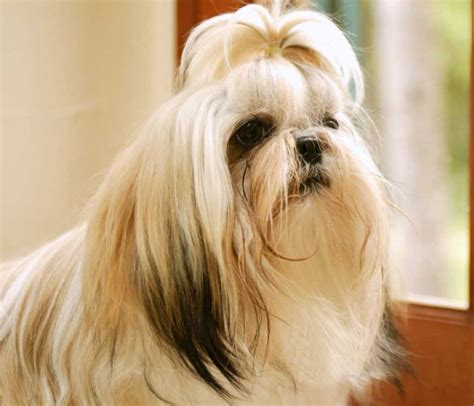 different types of shih tzu dogs shih tzu breed pictures 4 all list of different dogs breeds shih tzu dogs