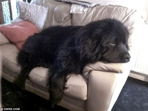 Raised Kitchen Floor - family left devastated after newfoundland dog bled to death when vets botched castration daily