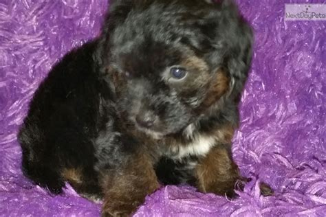 yorkie litter size dutchess terrier yorkie puppy for sale near las vegas nevada e2d85921 a4f1