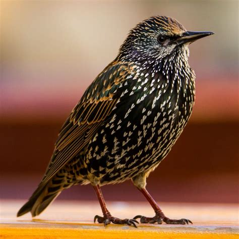 all about the starling gardenbird