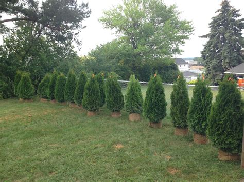 best tree to plant in backyard how to plant privacy trees pretty purple door