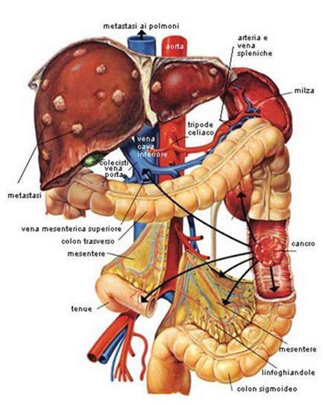 organi interni corpo umano addome detox fegato