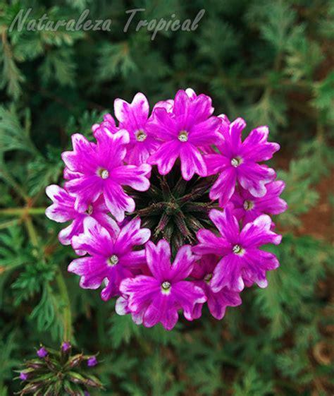 imagenes de flores verbenas naturaleza tropical manual para el cultivo de verbenas
