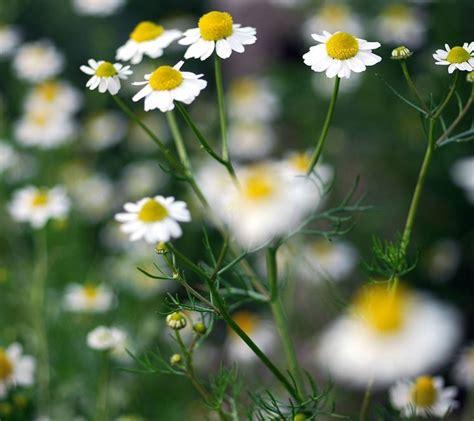 fiori camomilla decotto di camomilla infusi