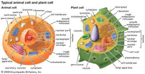peroxisome biology britannicacom