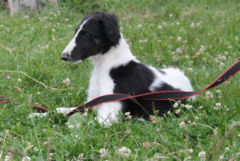 borzoi puppies for sale beautiful borzoi puppies for show coursing home sale greater manchester pets4homes