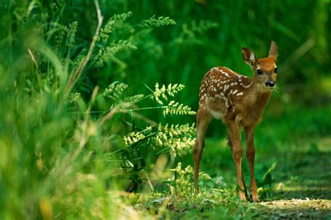 of saving baby deer why do we call baby deer fawns