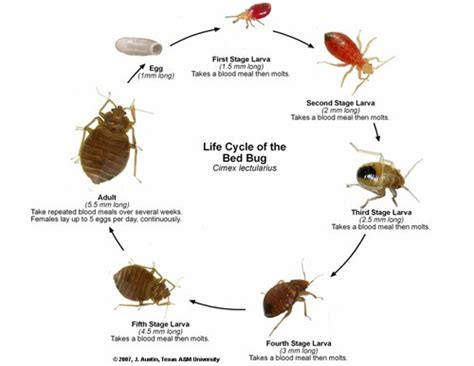 pictures of bed bugs on humans bed bug photos