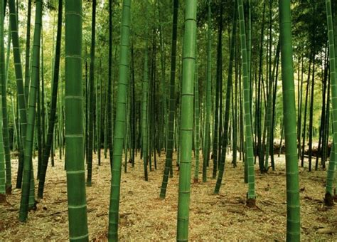 Full Wall Murals bamboo forest wall mural pr1831