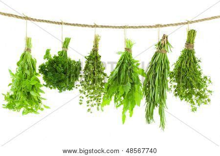 hanging bunches of fresh spicy herbs isolated on white set of spice herbs isolated on white background