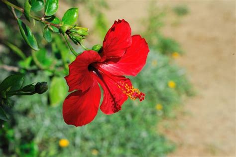 Sepatu Bunga Bunyi bunga kembang sepatu plant nature photos arrie s