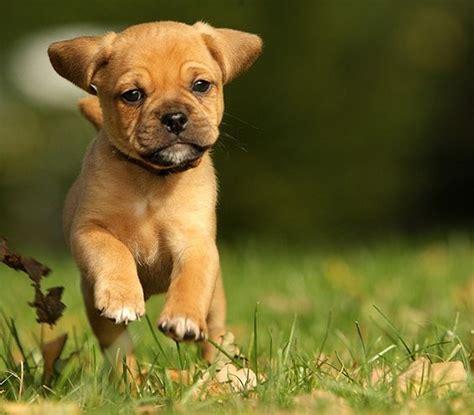 pug and a beagle pug beagle mix beagles and pug on