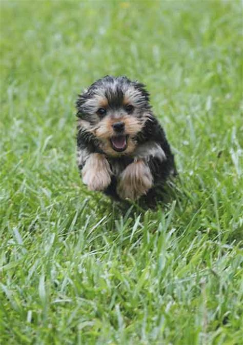 yorkie grass top dogs oh yorkie american kennel club