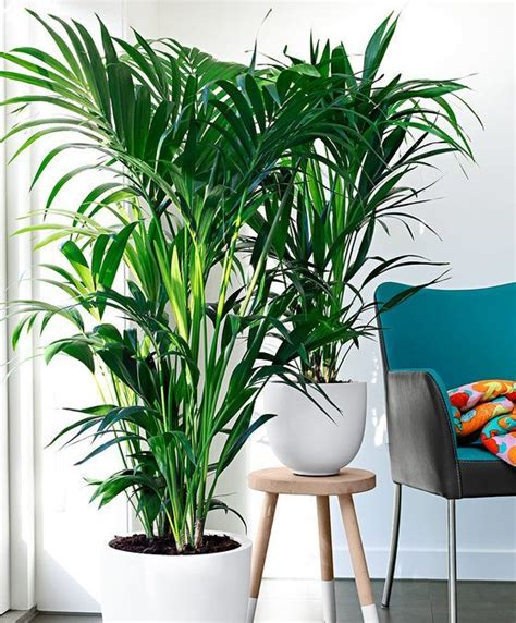 grand dubai butterfly palm plant indoor house plants