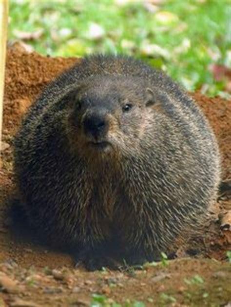 groundhog day ontario canada ontario and groundhog day on
