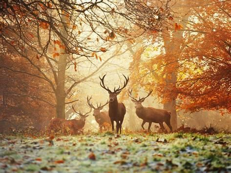 Deer Hunting Wall Murals four red deer in the autumn forest prints by alex saberi