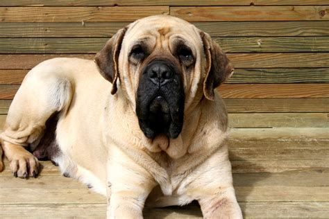 dogs that bark the least 10 kinds of dogs that are the least likely to bark commonpaw