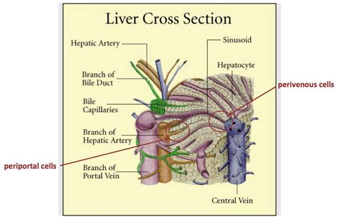liver cross section metabolic functions of the liver part 1 studyblue