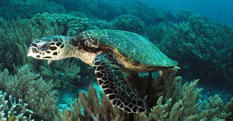 turtle images nuclear fallout proves useful for sea turtle clues
