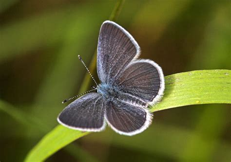 butterfly conservation small blue