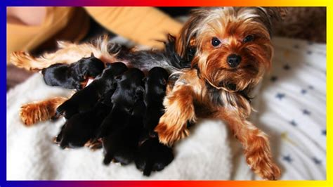 yorkies giving birth our yorkie terrier gives birth sucess to many puppies