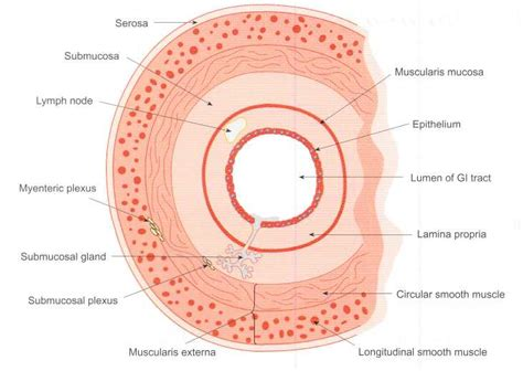 Transverse Section Of Small Intestine by 18 1 Introduction