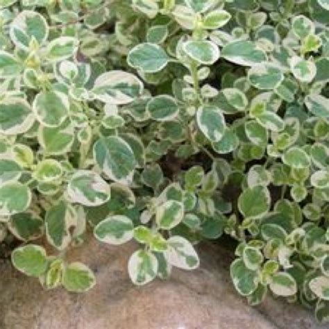 green and white foliage plants oregano variegated friends school plant sale