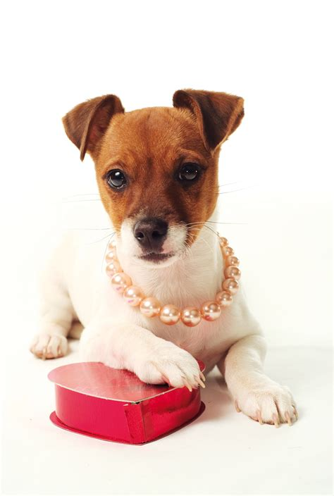 puppy valentines valentines day pet dangers your partner in pet care