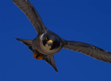 male peregrine falcon identified nebraskaland magazine