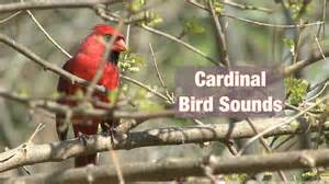 How To Make A Bird Call Out Of Paper - cardinal bird sounds