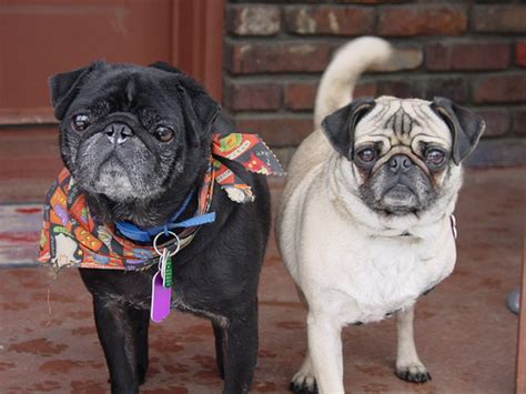 do black pugs shed less dogs for lazy