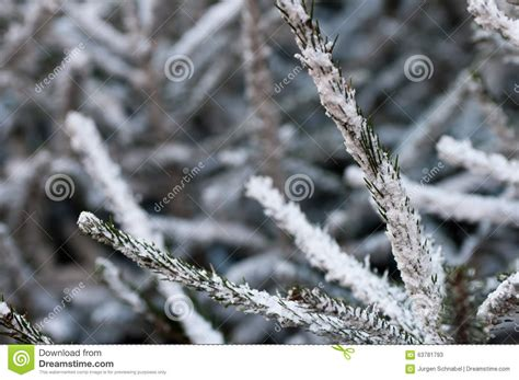 christmas trees covered in snow stock photo image 63781793