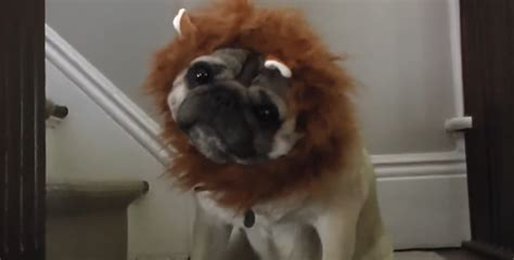 pugs lions a quot documentary quot featuring the great american pug