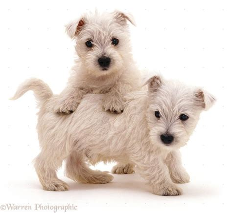 puppy 4 u 1365 best westie images on doggies west highland terrier and baby