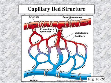 capillary beds pin capillary bed on pinterest