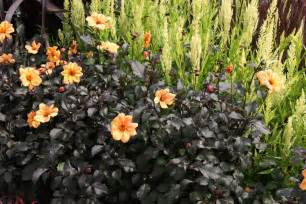 Garden Plants And Flowers Black Gold Bewitching Black Garden Plants