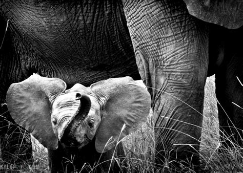 Baby Elephant Wallpaper Black And White Wallpapers Gallery