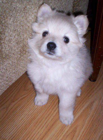 pomeranian puppies for sale in scotia rescue named river breeds picture